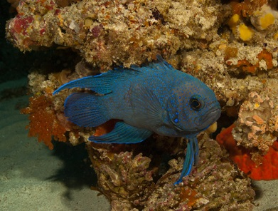 Blue Devil Fish with reef